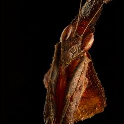 Phyllocrania Paradoxa 2