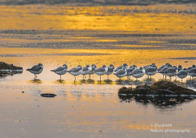 Relaxen tijden het gouden uurtje - Vlak voor zonsondergang stonden de drieteenstranlopers er wel heel relaxed bij!