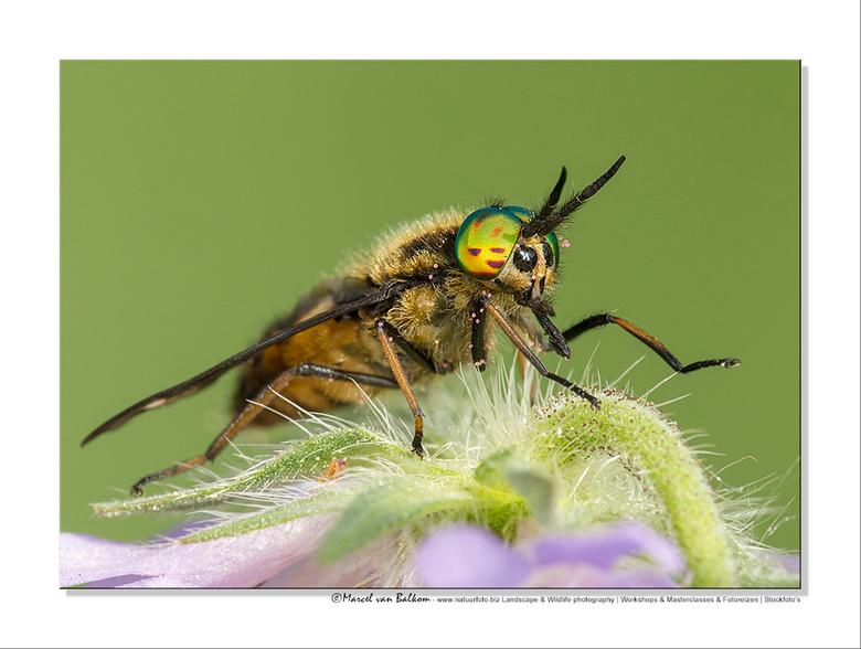 goudoogdaas | macro foto van mvbalkom | zoom.nl