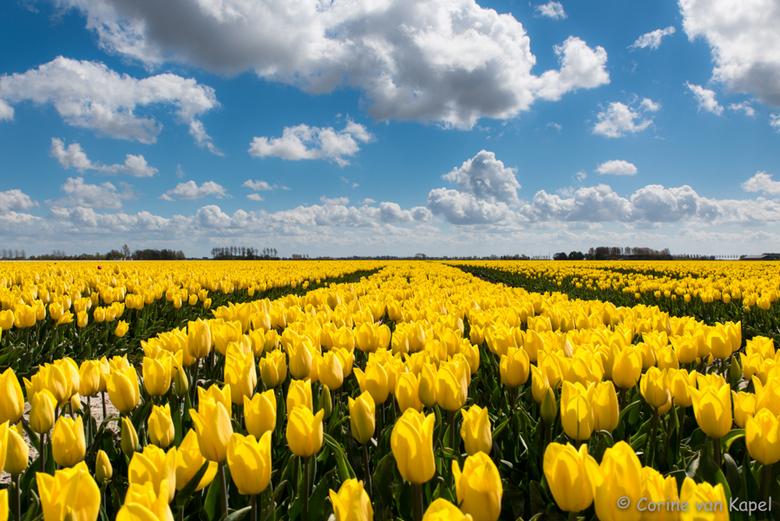 Wolken en tulpen -