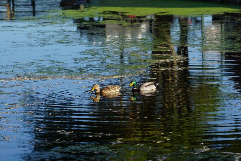 Ducking reflections - Heerlijk eenden fotograferen op de Zaanse Schans  mama en papa eend waren net als de mens aan het genieten van het mooie weer.