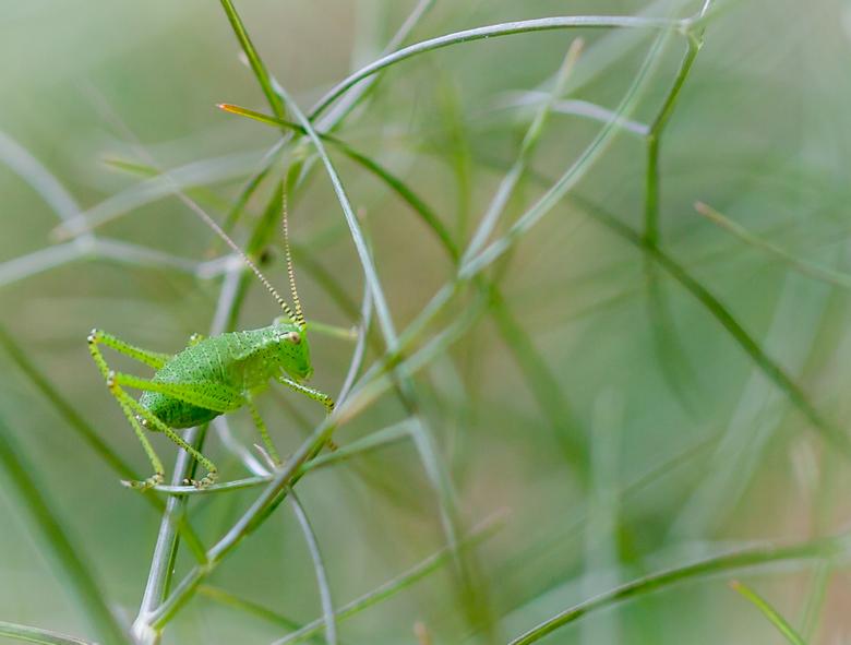 camouflage    4181 - .....de sabelsprinkhaan is goed gecamoufleerd in de venkelplant....