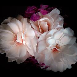 ze staan nog zo mooi in bloei..