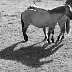 Konix paarden