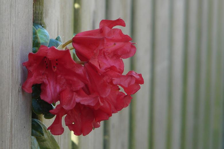 Rhodo - Deze rhodo stak mooi tussen de spijlen van het hek uit<br />