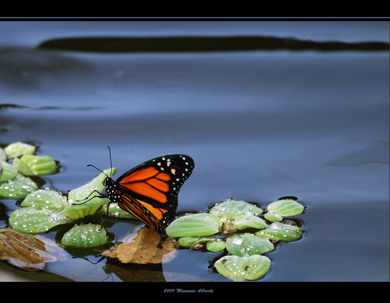 Danaus Plexippus - In de vlindertuin fotografeer je dus vlinders, zie hier eentje uit Noord Amerika. Deze was erg dorstig net als ik na afloop want he