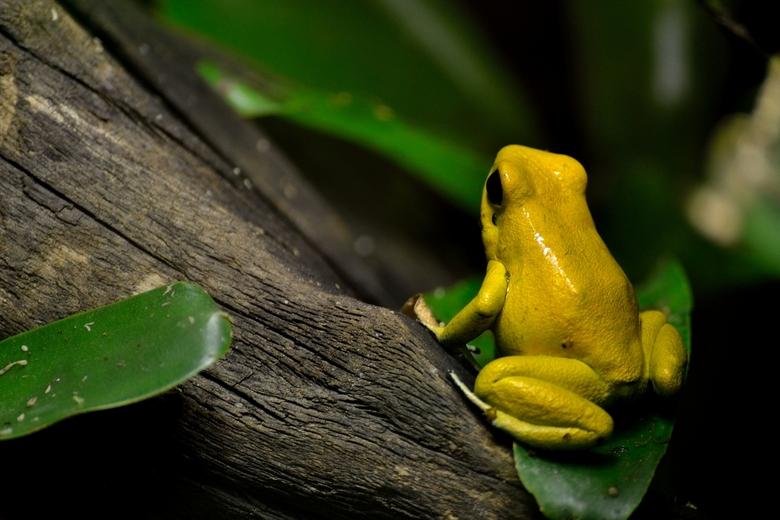 Blijdorp_06.JPG - Mooi geel kikkertje, schijnt de giftigste ter wereld te zijn. Blijdorp.