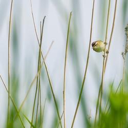 Vogeltje in het riet