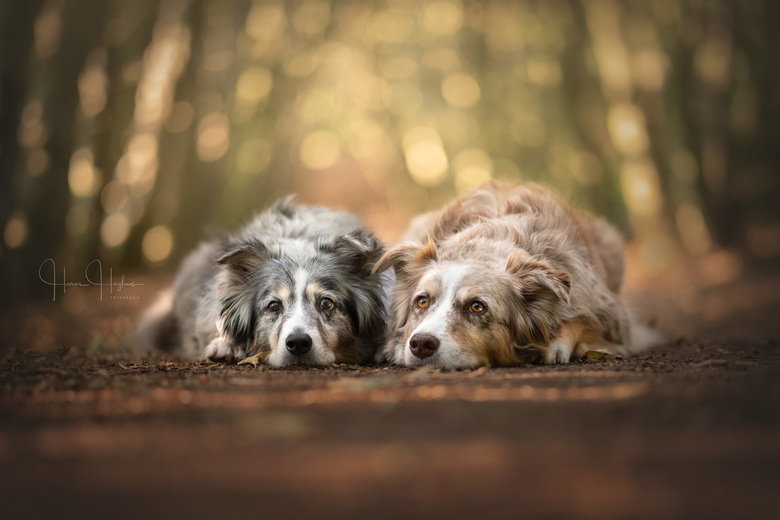 Faithful Eyes - Dazzle en Djampi tijdens onze masterclass hondenportretten.<br /> <br /> Het doel bij deze twee Aussies was het maken van een groeps