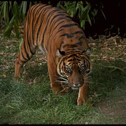 Blijdorp  sluipende tijger