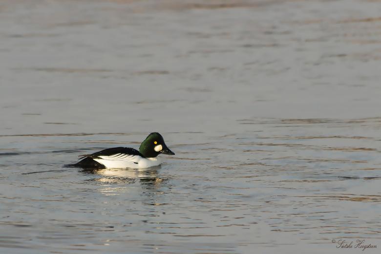 Brilduiker (m) - Een brilduiker mannetje vanmiddag vastgelegd in het Lauwersmeergebied. Voor mij de eerste keer dat ik ze zag.