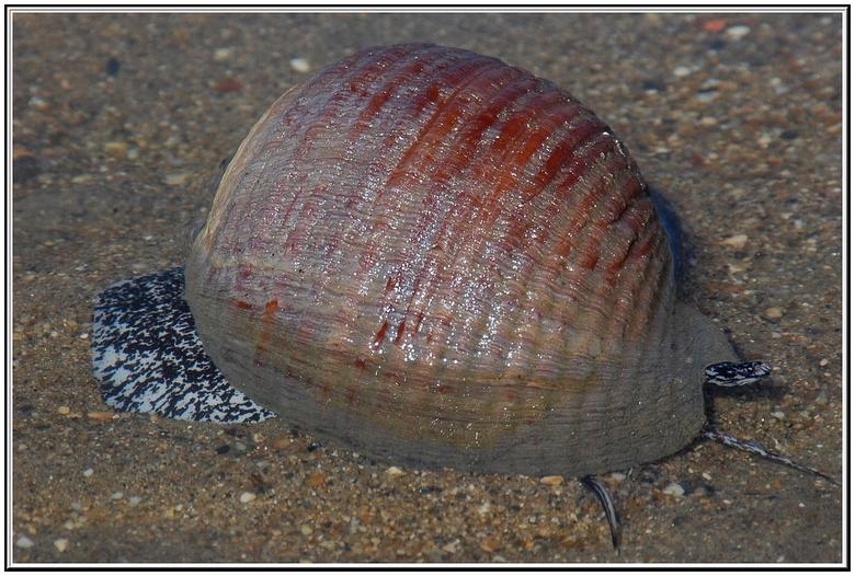 Weer een vreemde ontmoeting - Na mijn eens bijna aanvaring met een grote inktvis kwam een jaar later dit dier langs de vloedlijn op het strand van Bit