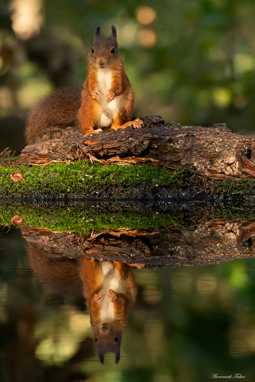 Waar is m'n nootje nu? - Eekhoorns in een herfstbos is genieten en hun zoektocht naar nootjes en gezichtsuitdrukkingen vervelen nooit.