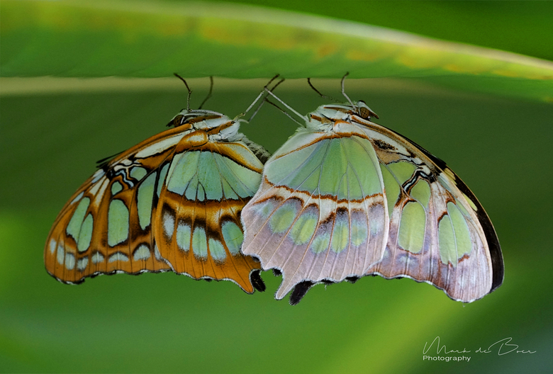 vlinders -
