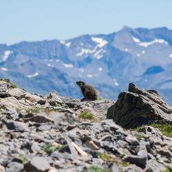 Berg Marmot