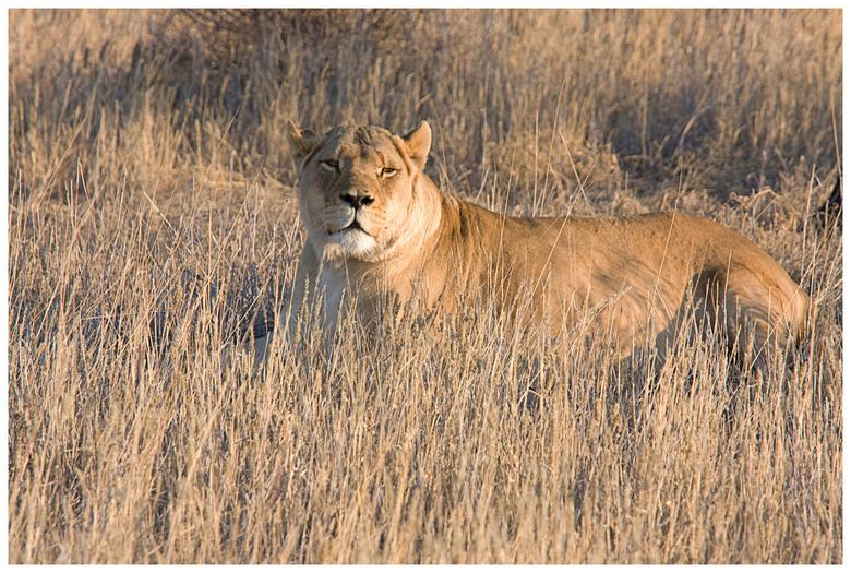 Leeuw - Leeuw in Intu Africa Camel Torn