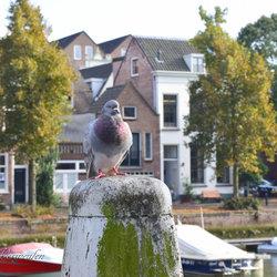 Duif in Dordrecht