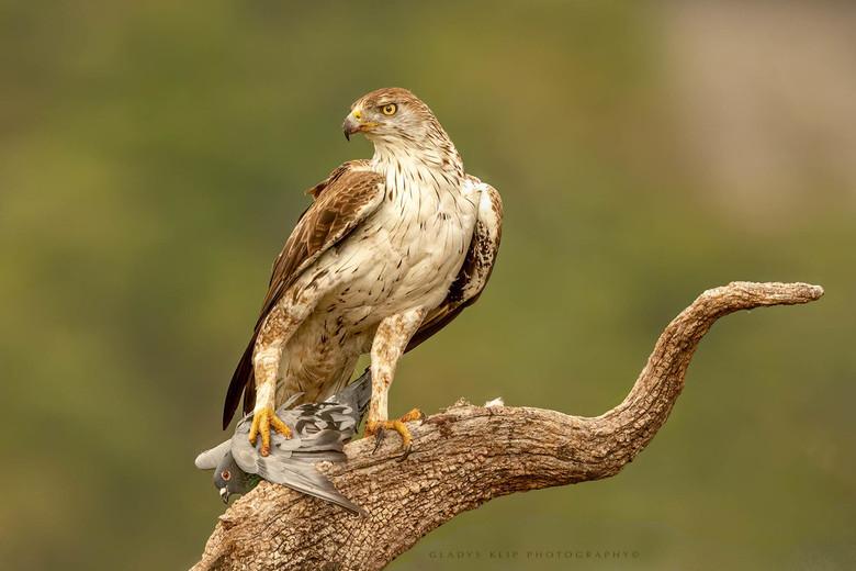 Gevangen.. - Deze prachtige roofvogel, de booted eagle is bijzonder mooie verschijning.
