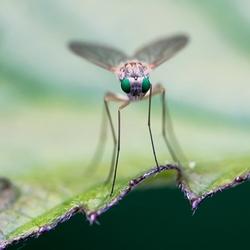 little green eye fly