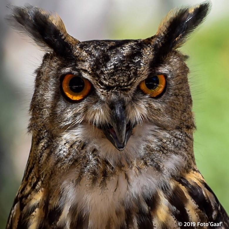 Uil in terra Natura Benidorm - In de dierentuin Benidorm worden de uilen opgevangen die zijn aangereden of andere trauma's hebben opgelopen