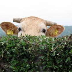 Limburgse Koe