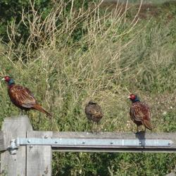 Fazanten op een hek