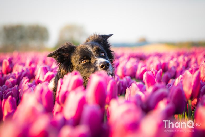 Fenna tussen de tulpen - Fenna kijkt naar mij om tussen de tulpen. We zitten beide in een ander laantje in het tulpenveld waardoor zowel op de voor- a