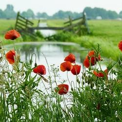 Klaprozen in de polder...