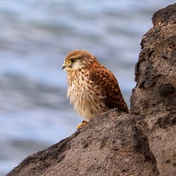 Torenvalk op de rotsen van Playa Blanca