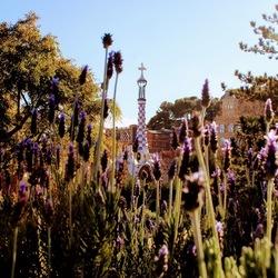 Parc Guell Lavendel