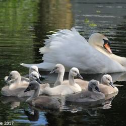 Moeder zwaan met haar jongen.