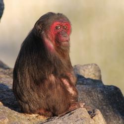 Rood gezicht aap