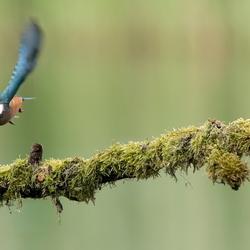 IJsvogel op vleugels