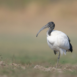 African-Sacred Ibis