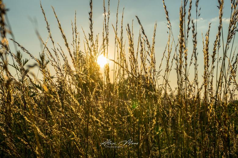 Golden Straw - Graan tijdens gouden uurtje met tegenlicht