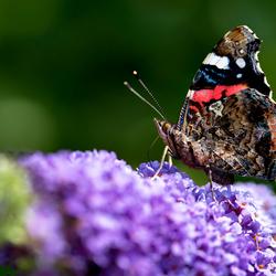Vlinder op vlinderplant