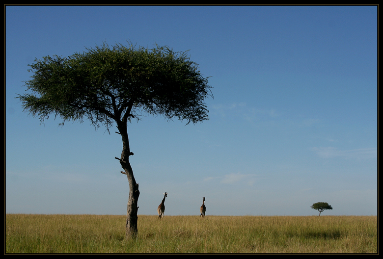 Giraffen in de Masai Mara -