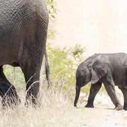 Olifantje volgt moeder