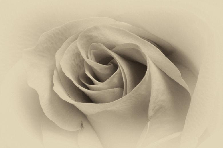 Roos - Macro van roos en omgezet naar grijswaarden met een vleugje sepia.