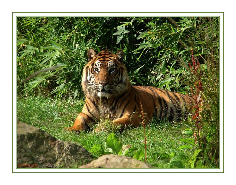 tijgertje Blijdorp - Door het glas van het verblijf van de tijger een foto gemaakt.