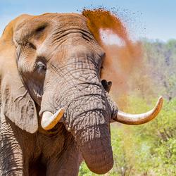 Olifant neemt stofbad