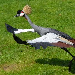Grijze Kroonkraanvogel.