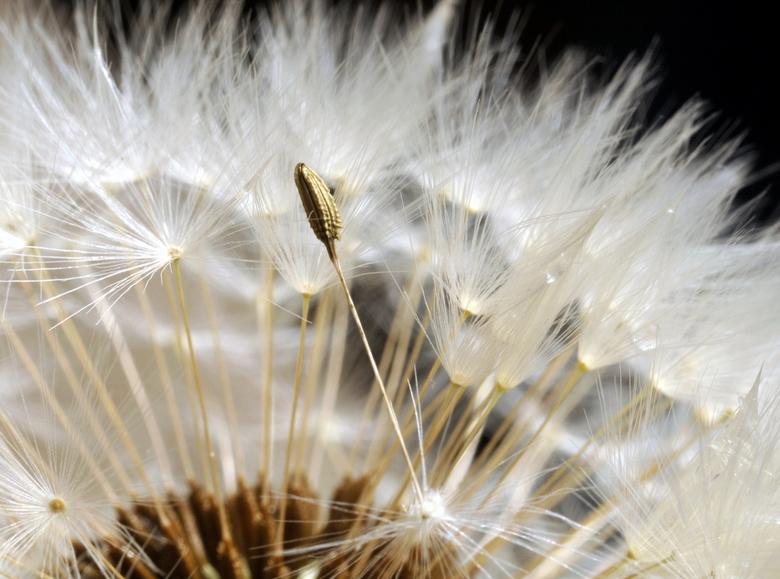 de Pluize(n)bol - zacht donzige pluisjes<br /> die vrolijk dansen op de wind<br /> speels voort geblazen<br /> door een lief, klein bloemenkind<br