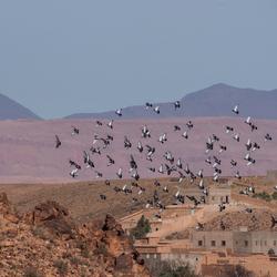 Duiven in Jebel Saghro, Marokko