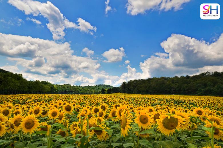 Sea of Sunflowers - Vlak bij ons verblijf in Frankrijk was er een ongelofelijk groot veld met zonnebloemen.<br /> <br /> het was enorm uitgestrekt c