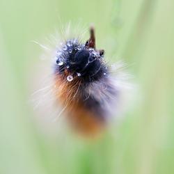 Caterpillar in the rain