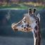 Rokende Giraf