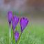 Paarse krokussen na een lente bui
