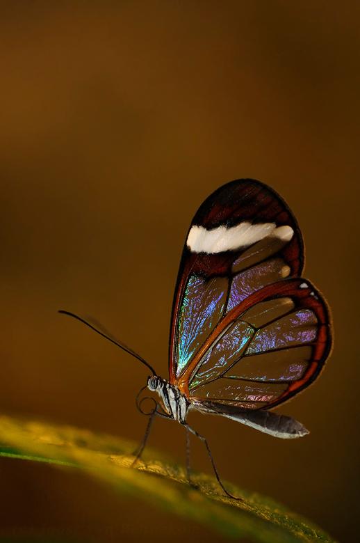 Wings of glass - Deze foto is gemaakt tijdens de macrofotografie workshop van Jeroen Stel.<br /> De workshop was mede georganiseerd door zoom.nl. <br
