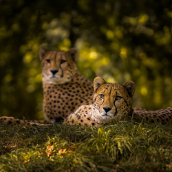 Cheetah Couple